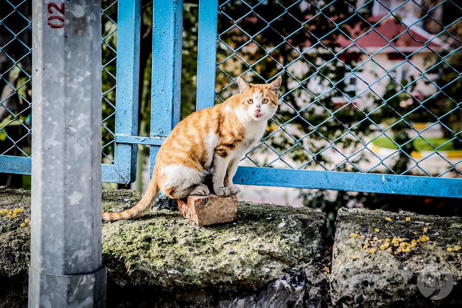 Koty Turcja 16 Dlaczego w Turcji jest tyle kotów?  O kotach w Stambule (i nie tylko)