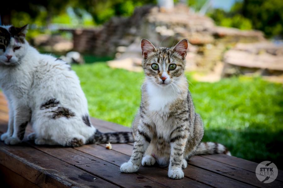 Koty Turcja 21 Dlaczego w Turcji jest tyle kotów?  O kotach w Stambule (i nie tylko)