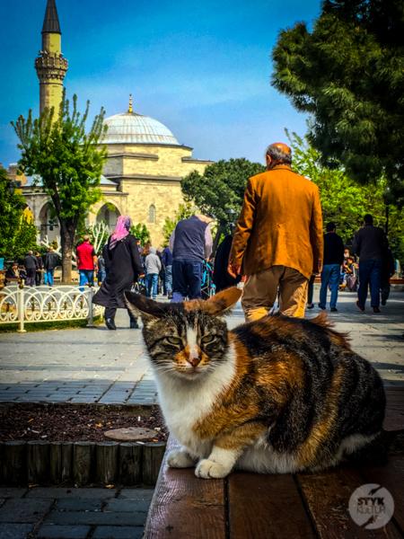 Koty Turcja 8 Dlaczego w Turcji jest tyle kotów?  O kotach w Stambule (i nie tylko)