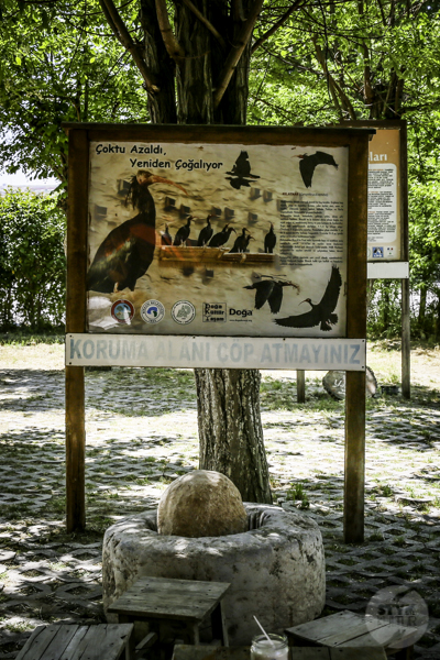 Ibis grzywiasty Birecik Turcja 4 Ośrodek Lęgowy Ibisa Grzywiastego w Birecik (południowo wschodnia Turcja)