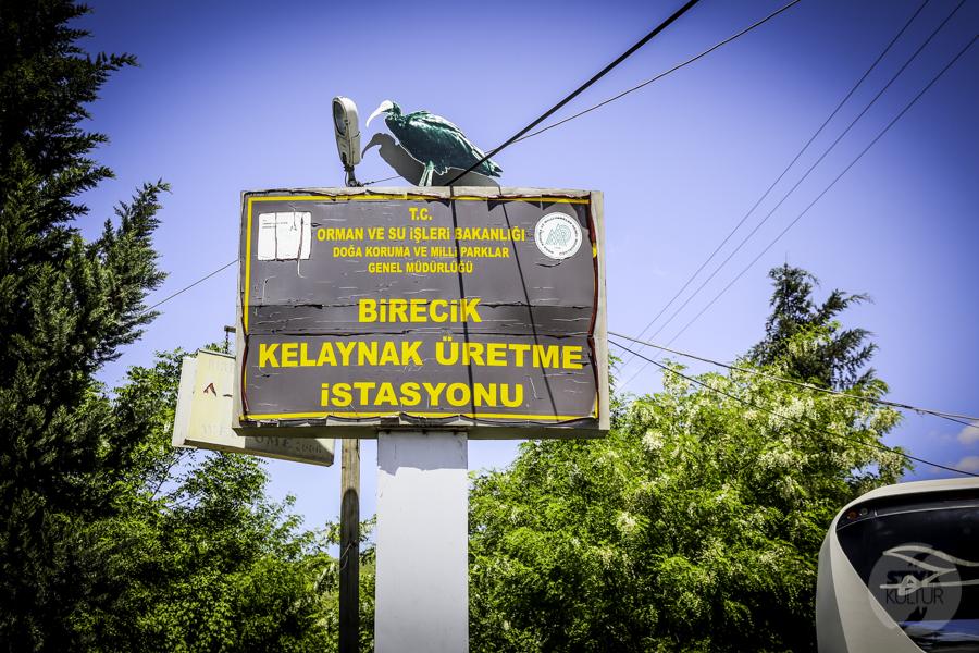 Ibis grzywiasty Birecik Turcja 5 Ośrodek Lęgowy Ibisa Grzywiastego w Birecik (południowo wschodnia Turcja)